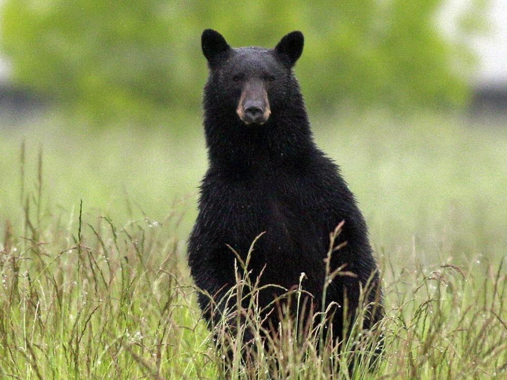 Cinco osos negros muertos a tiros