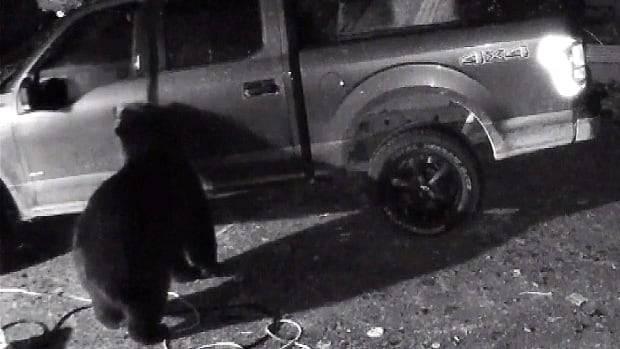 Osos negros avispados abren las puertas de los coches