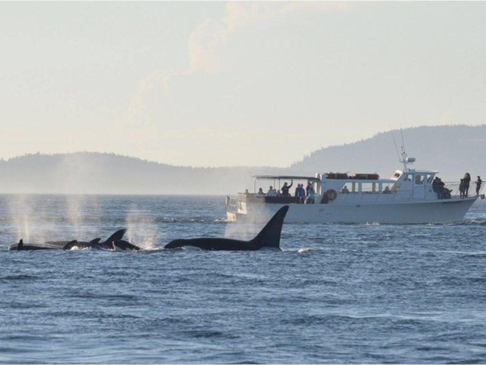 Nuevas normas de observación de las orcas del mar de Salish